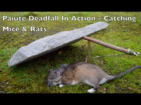 paiute deadfall