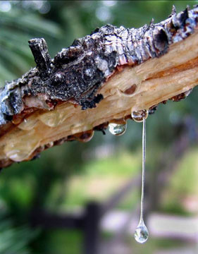 Tree Resin And Its Uses